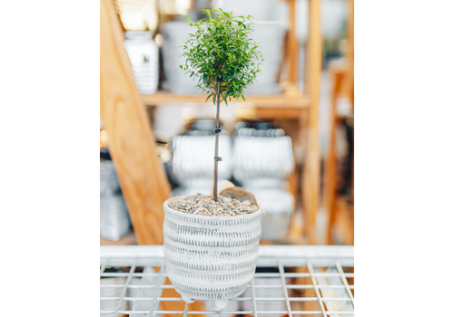 Dutch Growers Cutie Girl Potted Myrtle Tree