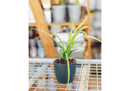 Dutch Growers Wild Child Potted Spider Plant