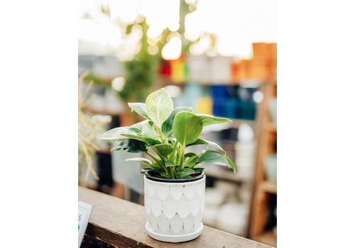 Dutch Growers Philodendron Birkin With White Ceramic Pot