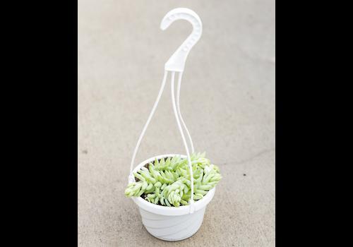 """Burro's Tail Hanging Basket 6"""""""