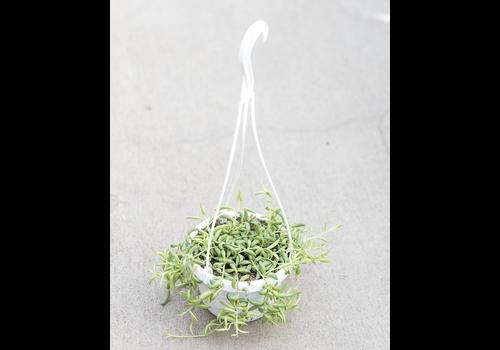 """Dutch Growers String of Bean Hanging Basket 6"""""""