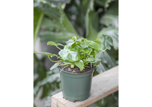 """Dutch Growers Philodendron Super Atom 4"""""""