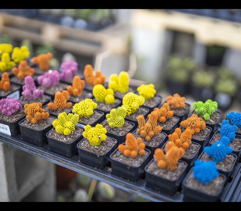 Cacti Desert Gems