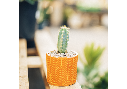 Dutch Growers Tangerine Funk Potted Cactus