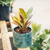 Dutch Growers Bright Lights Potted Croton