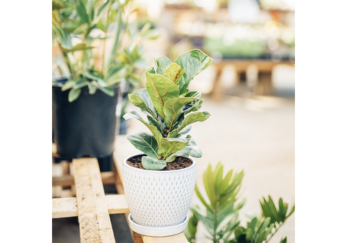 Dutch Growers Francis the Fabulous Potted Fiddle Leaf Fig