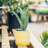 Dutch Growers Sunshine on a Cloudy Day Potted Snake Plant