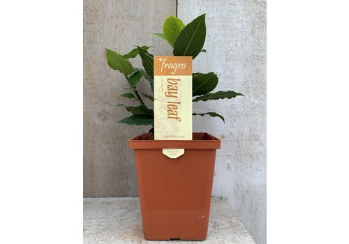 "Fragro Bay Leaf 5.5"" Specialty"