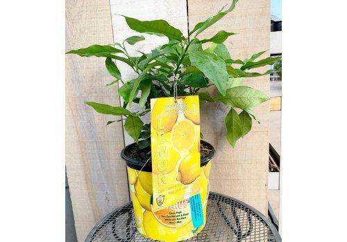 Record Buck Farms Lemon Eureka