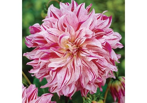 Dahlia Bristol Stripe Bulbs
