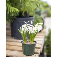 Gardenscape Bulbs