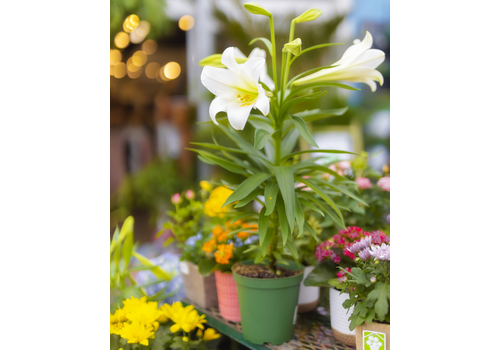 Dutch Growers Easter Lily 6""