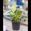 Dutch Growers Philodendron Birkin