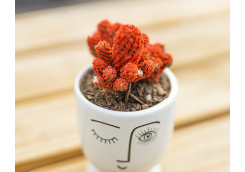 Dutch Growers Red Head Potted Cactus