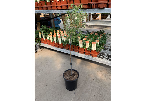 Rosemary Upright Blue 1gal