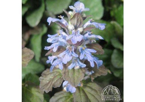 """Bugleweed Bronze Beauty 3.5"""""""