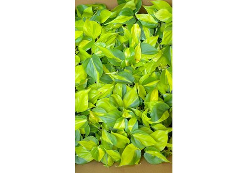Dutch Growers Philodendron Brazil