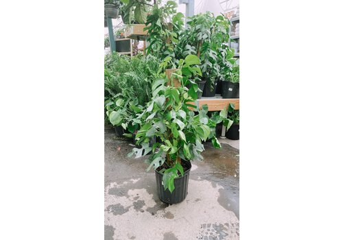 """Philodendron Monstera Ginny Totem 10"""""""