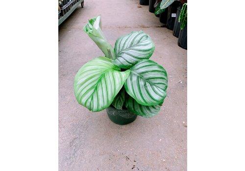 """Calathea Orbifolia 6"""""""