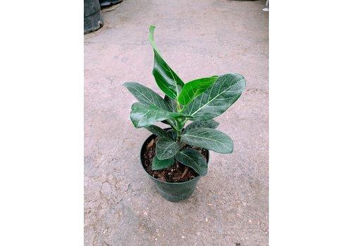 """Ficus Audrey Bush 6"""""""