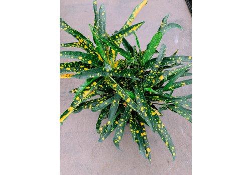 "Dutch Growers Croton Sloppy Painter 10"""