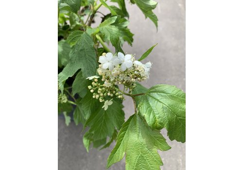 Cranberry European Compact