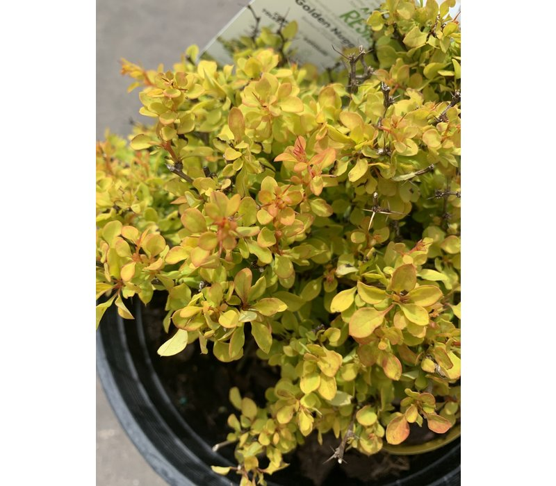 Barberry Golden Nugget 2gal