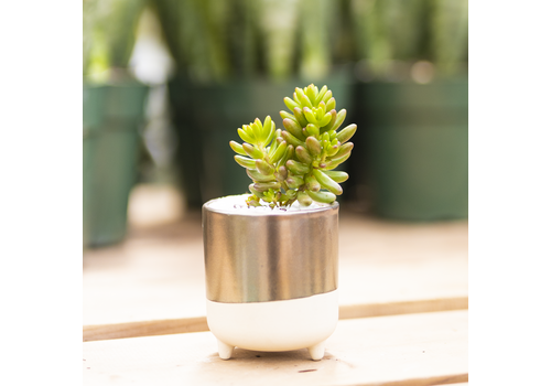 Dutch Growers Cute Girl Potted Succulent