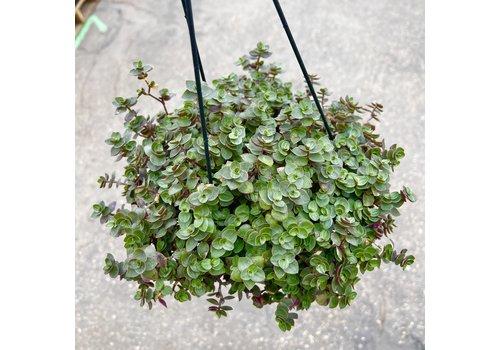 "Dutch Growers Tradescantia Tortuga Hanging Basket 6"""