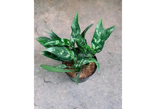 Chinese Evergreen Maria Emerald Beauty