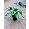 """Dutch Growers Philodendron Deja Vu 6"""""""