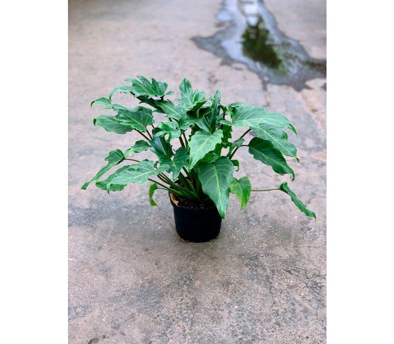 """Philodendron Deja Vu 6"""""""