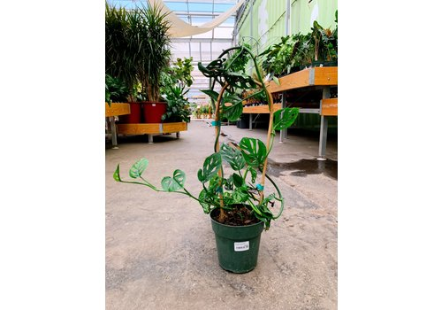 """Philodendron Swiss Cheese Hoop 6"""""""