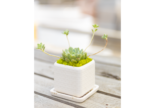 Dutch Growers Pretty Little Potted Succulent