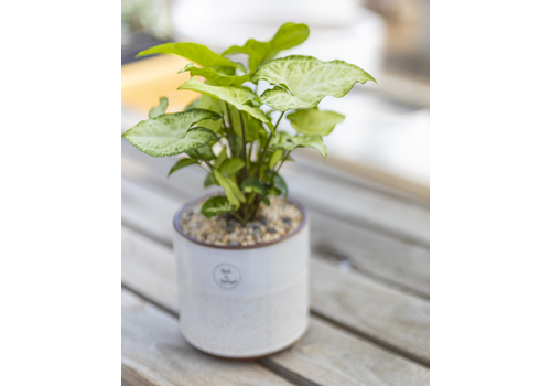 Dutch Growers Rooting For You Potted Nephthytis