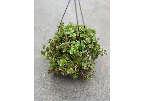 "Dutch Growers Jade Runner Hanging Basket 6"""