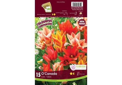 Tulip O'Canada