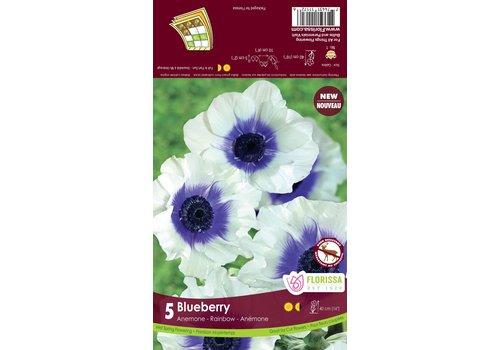 Anemone Rainbow Blueberry