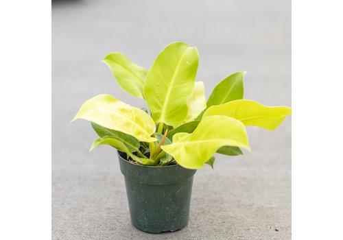 "Philodendron Lemon Lime 6"""