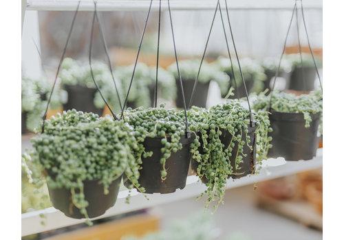 Dutch Growers String of Pearls Hanging Basket