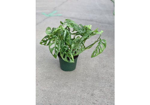 """Philodendron Swiss Cheese 6"""""""