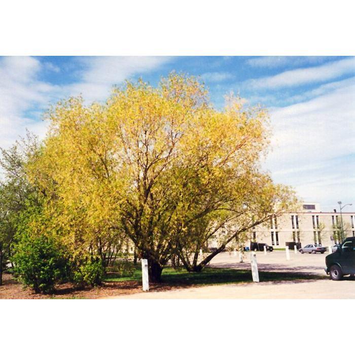 Willow Golden