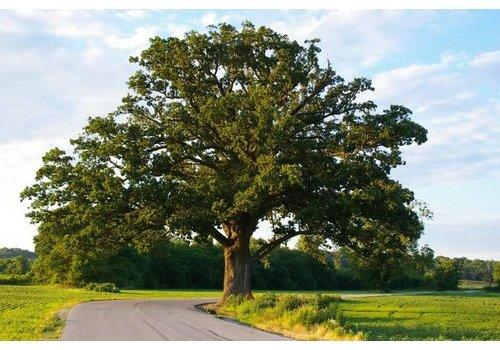 Oak Bur by Caliper