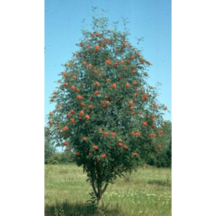 Mountain Ash Russian