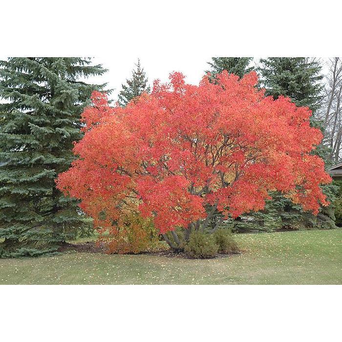 Maple Amur