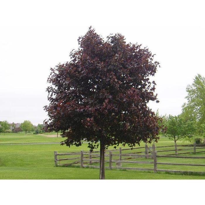 Maple Prairie Splendor by Caliper