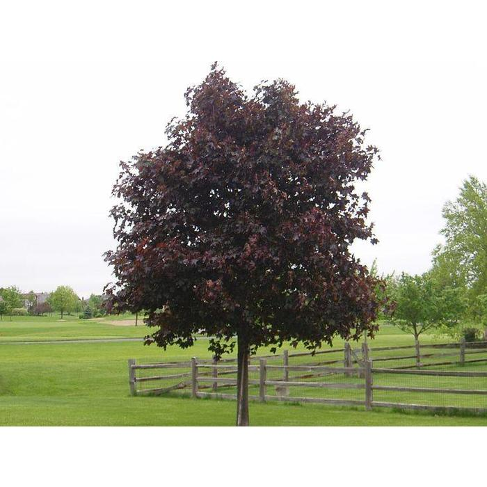 Maple Prairie Splendor by Gallon