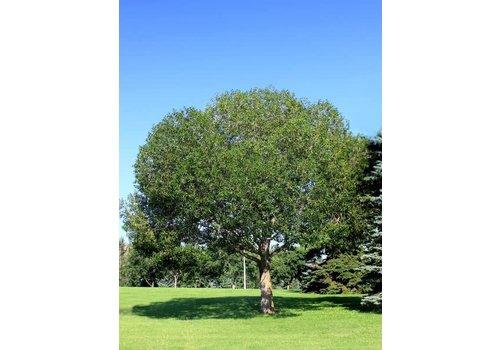 Willow Laurel Leaf
