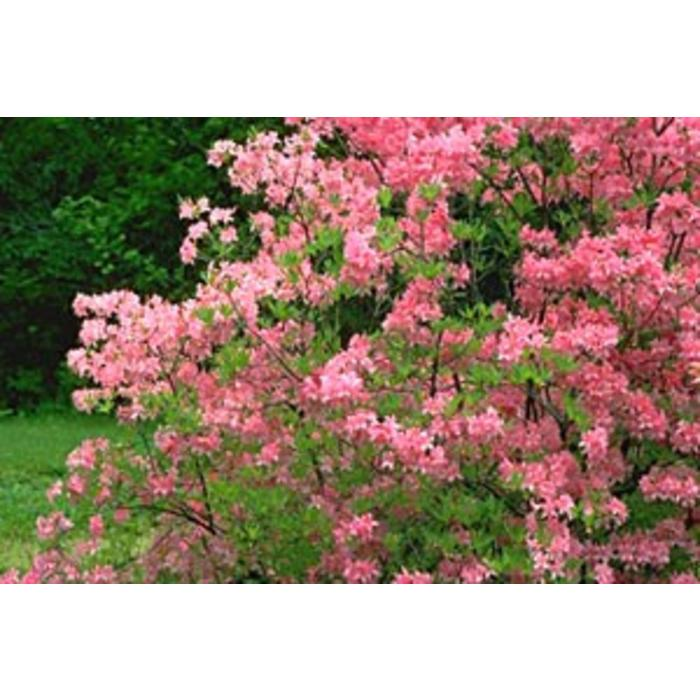Azalea Northern Lights