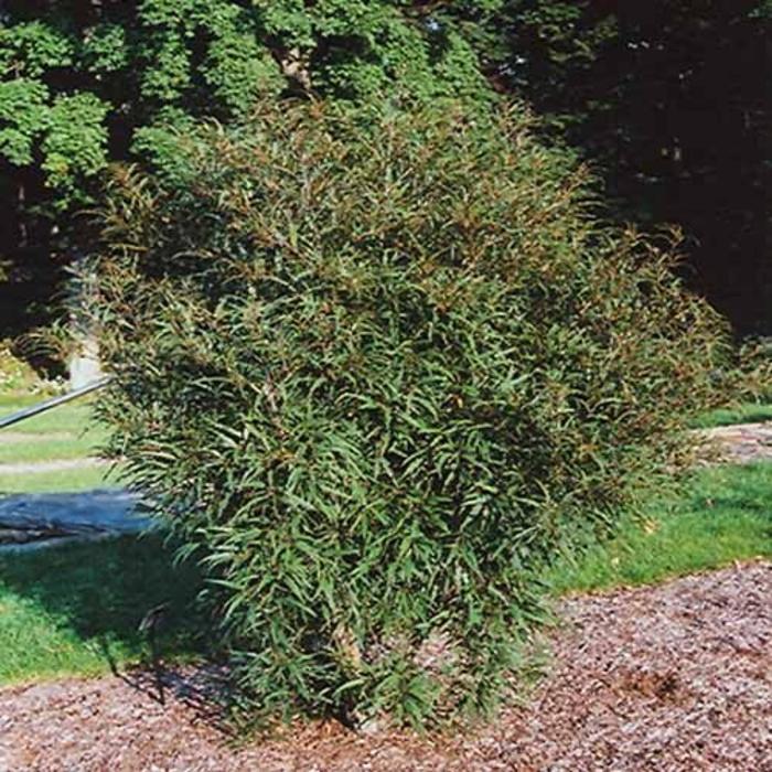 Buckthorn Fernleaf